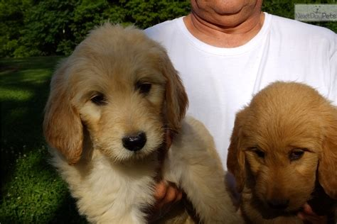apricot golden retriever apricot goldendoodle puppy white goldendoodle puppy for sale in