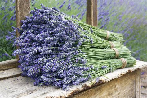 Home Decoration For Birthday by Lavender Varieties And Blooming Seasons