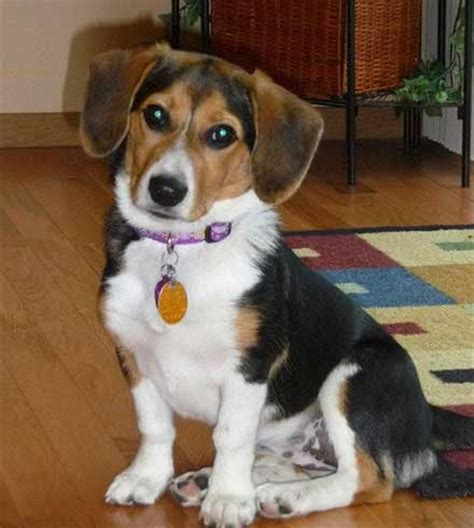 corgi yorkie mix puppies are corgi beagle mix pups really great family pets for new