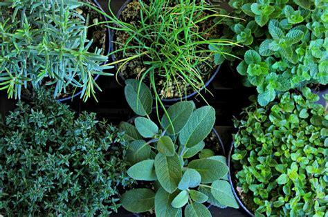 erbe aromatiche in vaso come coltivare le erbe aromatiche giardango