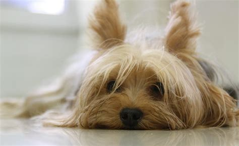 names for a yorkie yorkie names 100 sweet sassy ideas publics1 ru
