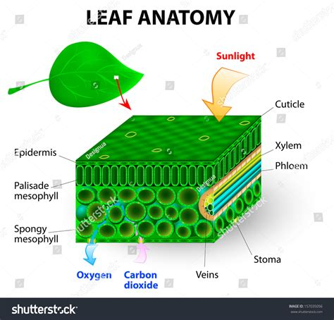 chlorophyll diagram leaf anatomy vector diagram photosynthesis chlorophyll