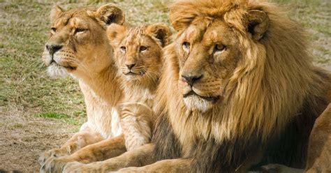 imagenes de leones solitarios imagenes de leones imagen pareja de leones con su cria
