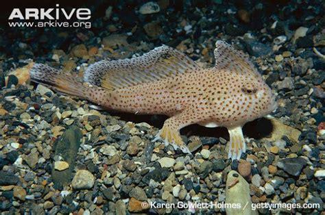 Pakan Pancing Udang spotted handfish ikan berkaki empat tips peternakan