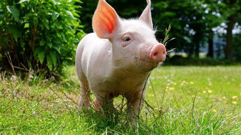 pig background pig wallpaper 62 images