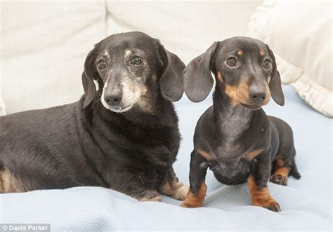 cost to clone a uk s cloned winnie the dachshund meets genetic daily mail