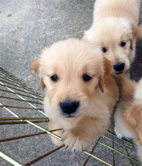 best golden retriever breeders in the northeast 25 best ideas about puppies on pupies www and