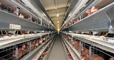 Jual Bibit Ayam Petelur Karawang mencapai puncak produksi pada ayam petelur jual puyuh