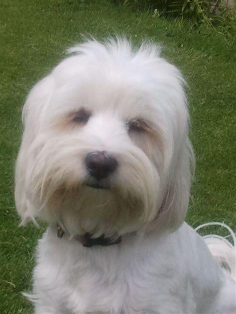 tibetan terrier puppies for adoption tibetan terrier puppies expected warrington cheshire pets4homes