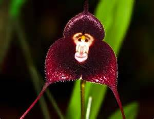 monkey orchid monkey looking orchid will bring a smile on your livbit