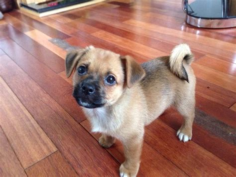 best pug mix best 25 mix ideas on mixed breed terrier mix breeds and