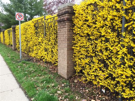 an entire wall of yellow flowering forsythia in hedge form backyard neophyte landscaping blog