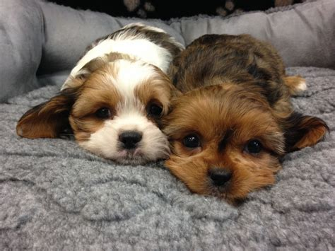shih tzu x cavalier cavalier x shih tzu puppies for sale vet checked ilford essex pets4homes