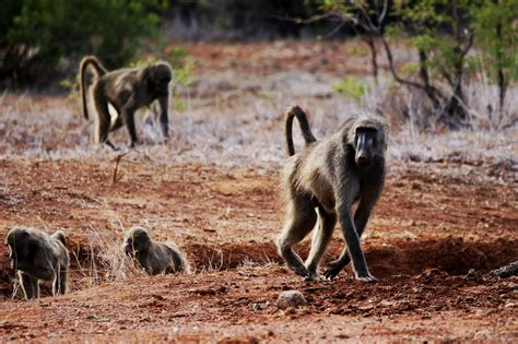 hunting baboons  south africa  mkulu african hunting safaris