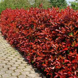 tipped photinia grower direct fresh cut flowers