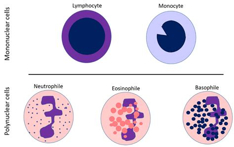 blood cells diagram white blood cells diagram thinglink