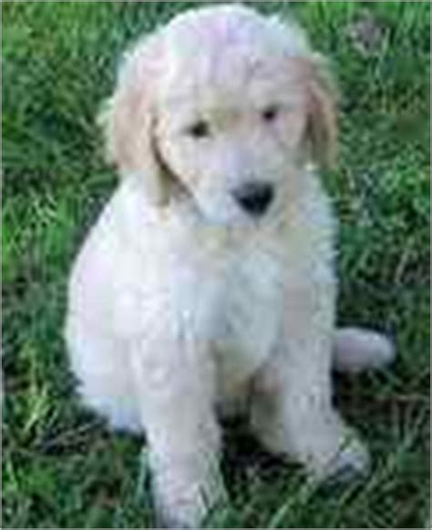 goldendoodle puppies kentucky for sale dogs puppies in kentucky