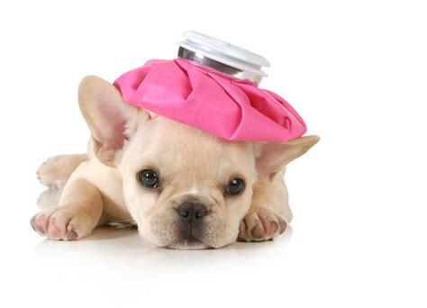 what to do with a new puppy what to do if your puppy has a parvovirus infection