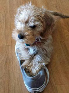 golden retriever yorkie mix puppies golden retriever yorkie mix and cuddley animal and pup
