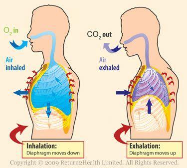 inhalation diagram diaphram diagram with lung inhalation and exhalation