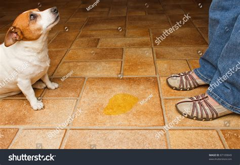how to discipline a dog for peeing in the house dog owner meet urine puddle stock photo 87109849 shutterstock