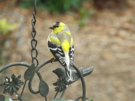 what s in my backyard how to attract finches in your backyard backyard birds the bird food store