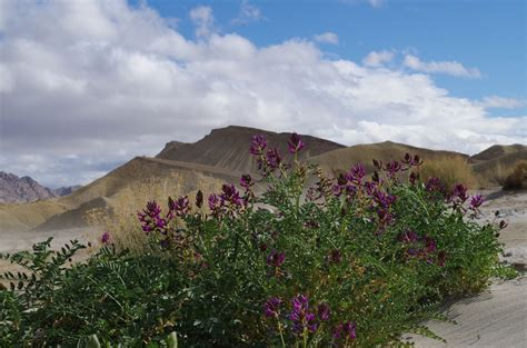 anza borrego desert flowers mid march may be the sweet spot for spectacular