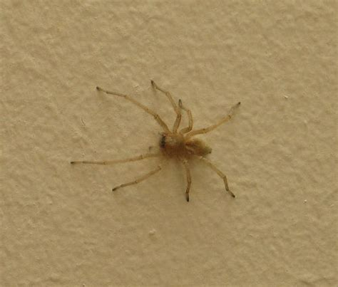 common house spider flickr photo