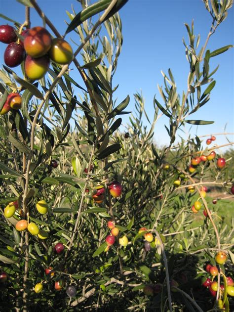 Sho Olive Original coratina olive a adaptable olive tree used for