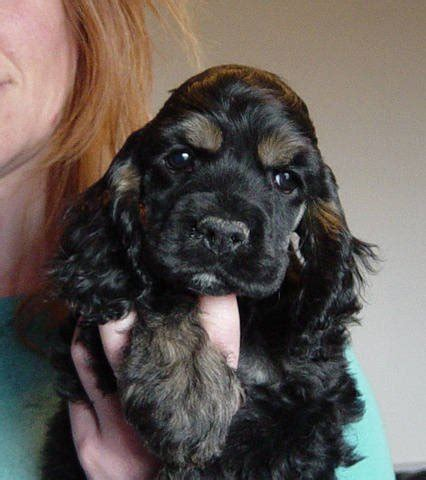 cocker spaniel puppies for adoption american cocker spaniel puppies for sale adoption from tofield alberta beaver adpost
