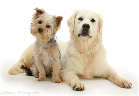 golden retriever terrier dogs yorkie and golden retriever photo wp29396