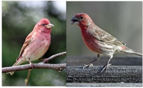 difference between purple finch and house finch purple house finch pictures to pin on pinterest pinsdaddy