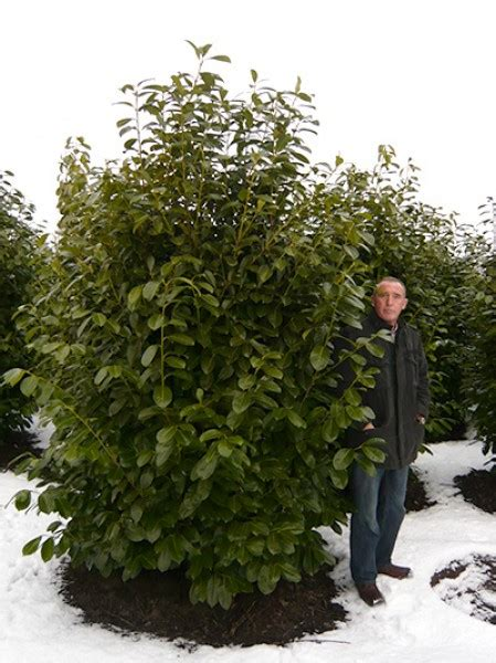 Kirschlorbeer Als Hecke 250 by Gro 223 Bl 228 Ttriger Kirschlorbeer Rotundifolia Prunus