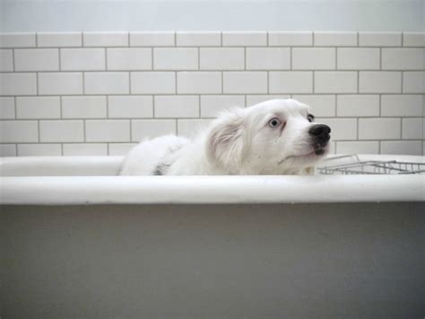 dogs and bathtubs 10 dogs who felt betrayed at bath time