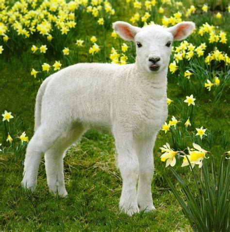 lambs and l easter photographic greeting card cards