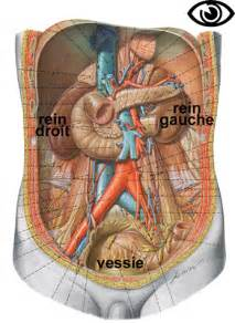 anatomie du humain reins