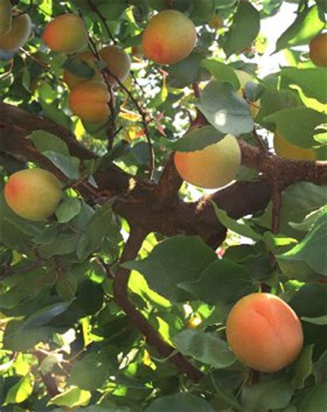fruit trees names apricot tree names