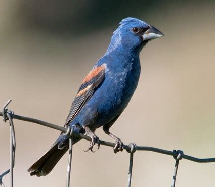 blue grosbeak identification all about birds cornell