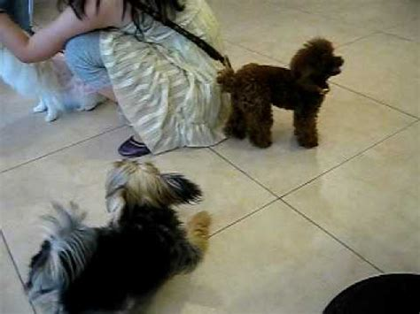 yorkie vs teacup yorkie teacup poodle vs terrier