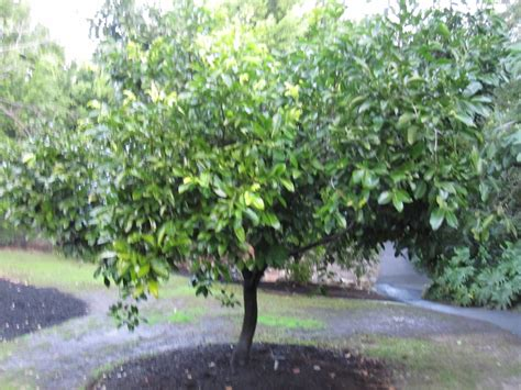 black fruit tree black sapote maher tree diospyros digyna