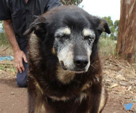 what is the oldest age a can puppies oldest australian sheep named maggie dies at age 30 newsmax