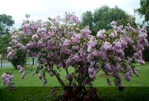 Small Hardy Flowering Shrubs - zuni 8 10 lavender small tree or shrub