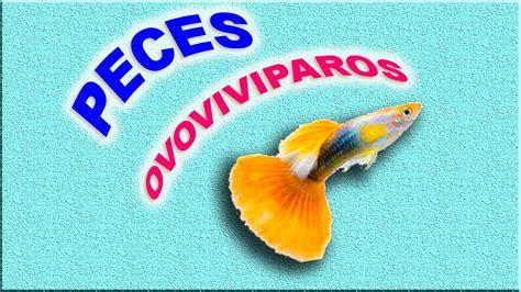 los peces de la 8483835460 peces ovoviv 205 paros youtube