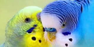 riproduzione cocorite in gabbia riproduzione in gabbia cocorite e pappagallini ondulati