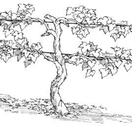 Coloring Page Vine And Branches by Best Photos Of Grape Vine Coloring Page Grape Vine Clip