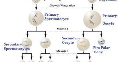perbedaan spermatogenesis  oogenesis artikelsiana