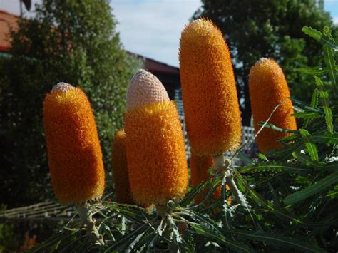 fior d arancio pianta foto gratis banksia fiori piante arancio