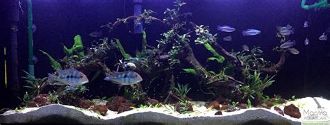 mbuna aquascape mbuna forums
