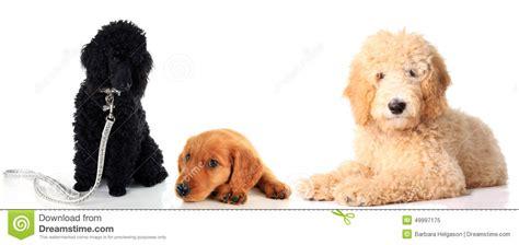 irish setter golden doodle three dogs together stock photo image 49997175