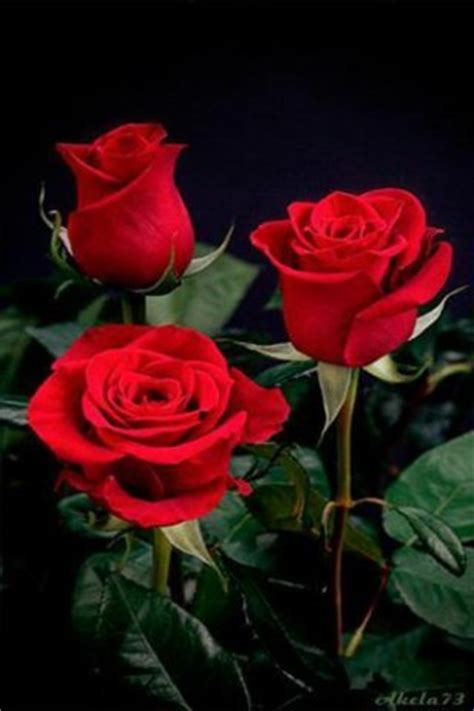 rose themes live download 3d red rose live wallpaper for android appszoom